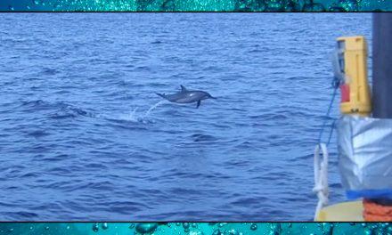 Dolphin Ears – Sea Shambles Advent – Day 24