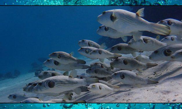Puffer Fish – Sea Shambles Advent Day 10