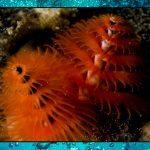 Christmas Tree Worms – Sea Shambles Advent Dat 25