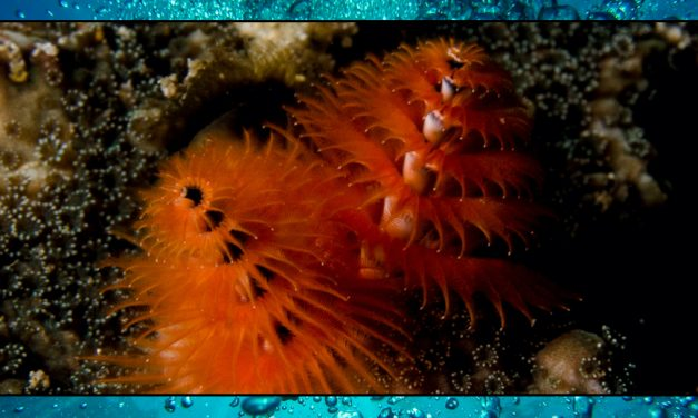Christmas Tree Worms – Sea Shambles Advent Dat 25